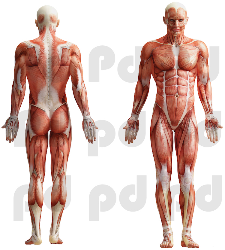 Human Body Mural Decal Doctor Wall Decal Murals Primedecals