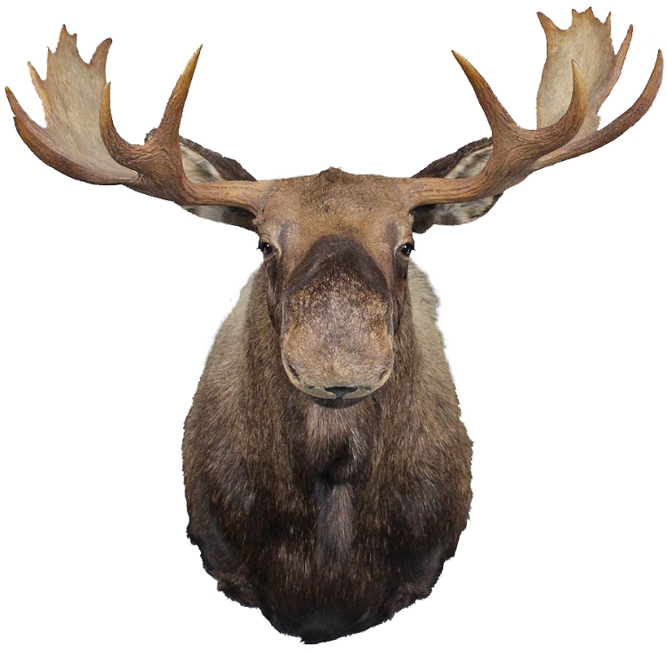 Moose Head Wall Decal  Animal Stickers  Primedecals - Wall Stickers Nursery