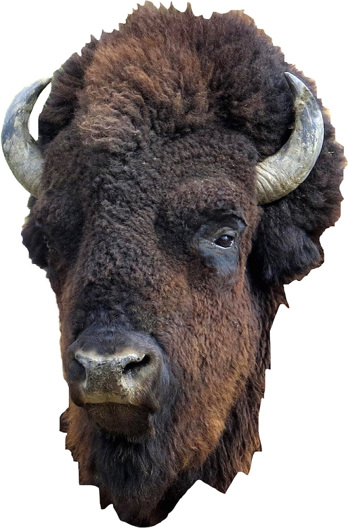 Bison Head Wall Mural Decal Wall Adhesives Primedecals