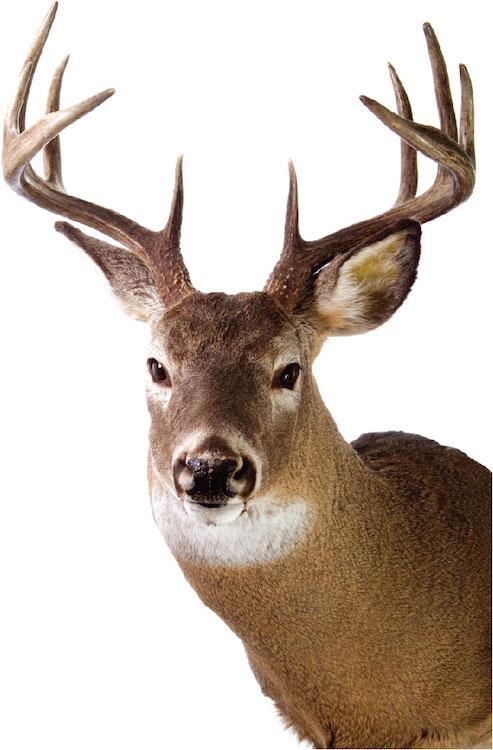 Deer Head Decal Design Wall Murals Primedecals