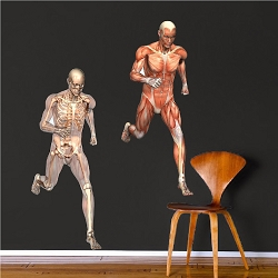 Human Muscle and Skeleton Wall Mural Decal