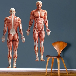Human Body Wall Mural Decal